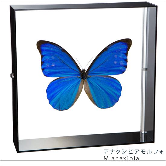 蝶の標本 アナクシビアモルフォ アクリルフレーム 黒
