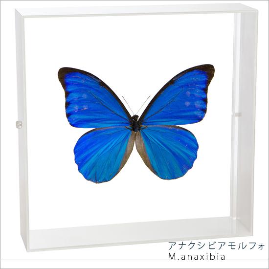 蝶の標本 アナクシビアモルフォ アクリルフレーム 白