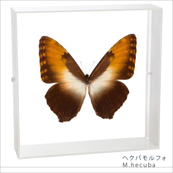 蝶の標本 ヘクバモルフォ アクリルフレーム 白