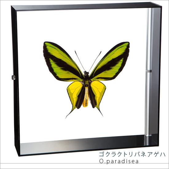 蝶の標本 ゴクラクトリバネアゲハ アクリルフレーム 黒