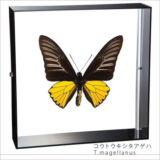 蝶の標本 コウトウキシタアゲハ アクリルフレーム 黒