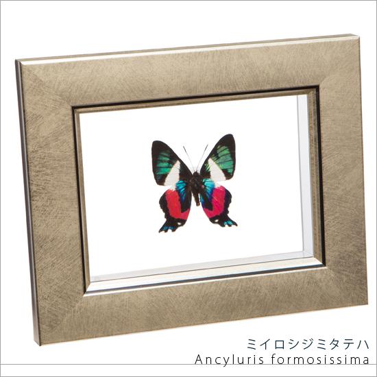 蝶の標本 ミイロシジミタテハ メタリック調ライトフレーム