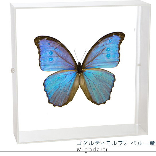 蝶の標本 ゴダルティモルフォ ペルー産 アクリルフレーム 白
