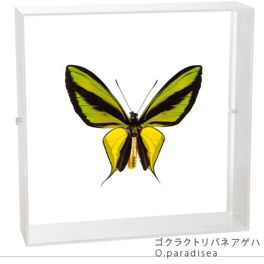蝶の標本 ゴクラクトリバネアゲハ アクリルフレーム 白
