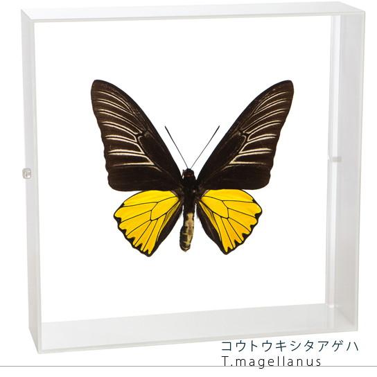 蝶の標本 コウトウキシタアゲハ アクリルフレーム 白