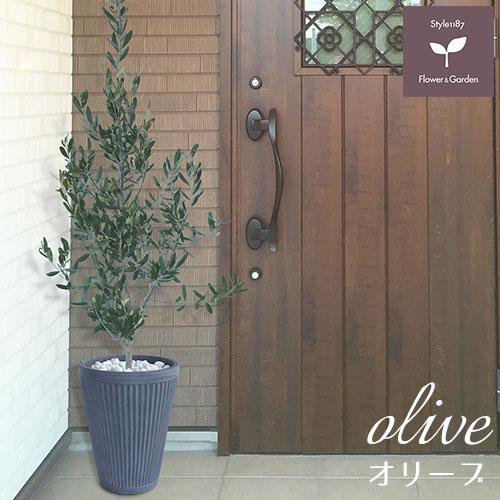 庭木 常緑樹 オリーブ おしゃれな 鉢植え グレー