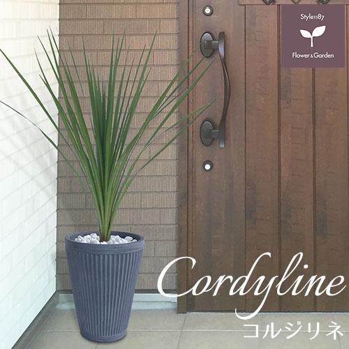庭木 常緑樹 コルジリネ おしゃれな 鉢植え グレー