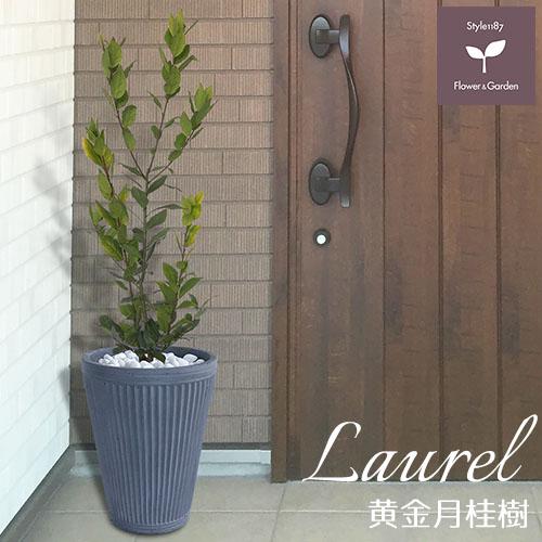 庭木 常緑樹 黄金月桂樹 ローリエ おしゃれな 鉢植え グレー