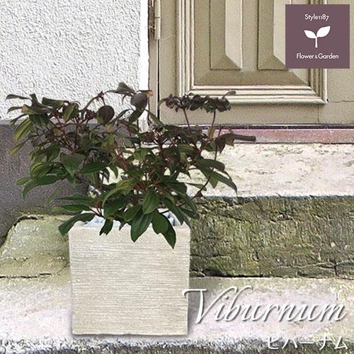 庭木 常緑樹 ビバーナム ダビディー おしゃれな 鉢植え スクエア