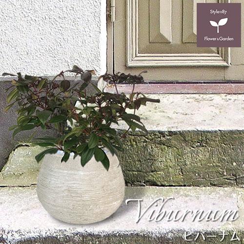 庭木 常緑樹 ビバーナム ダビディー おしゃれな 鉢植え ラウンド