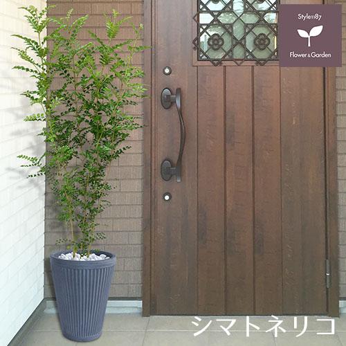 庭木 常緑樹 シマトネリコ おしゃれな 鉢植え グレー