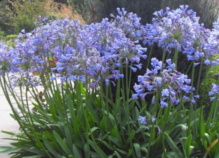 さわやかな涼感のある花を多数咲かせ スーパーセール 立ち姿が優雅で美しい花です アガパンサス 苗木 100%品質保証! 1ポット