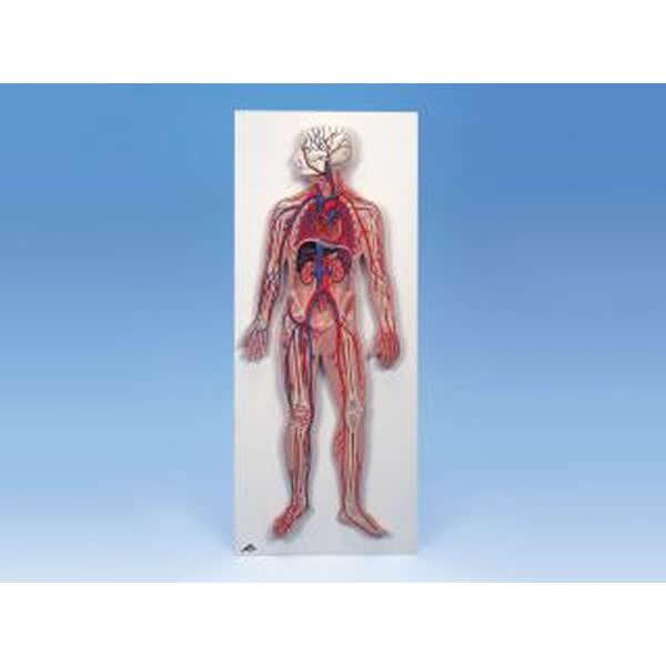 血管系1/2倍大模型 G30N