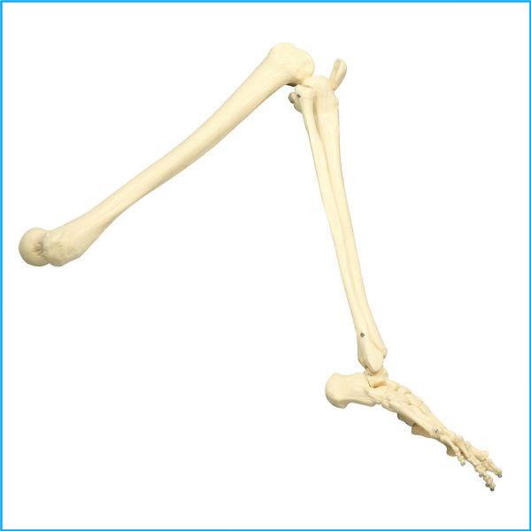 脚の関節構造模型 実物大