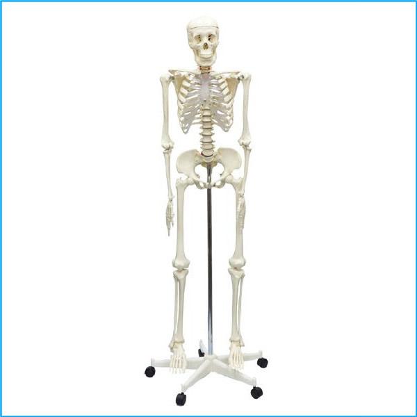 人体骨格模型 160cm