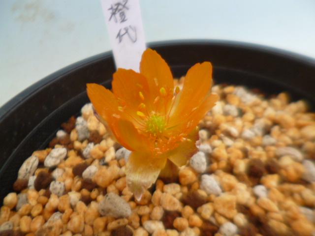 福寿草「橙代(だいだい)」2芽と小2芽