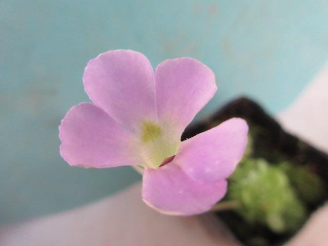 かわいい食虫植物 新作販売 花はピンクのエセリアナ 食虫植物 姫足長虫取りスミレ 新色追加して再販