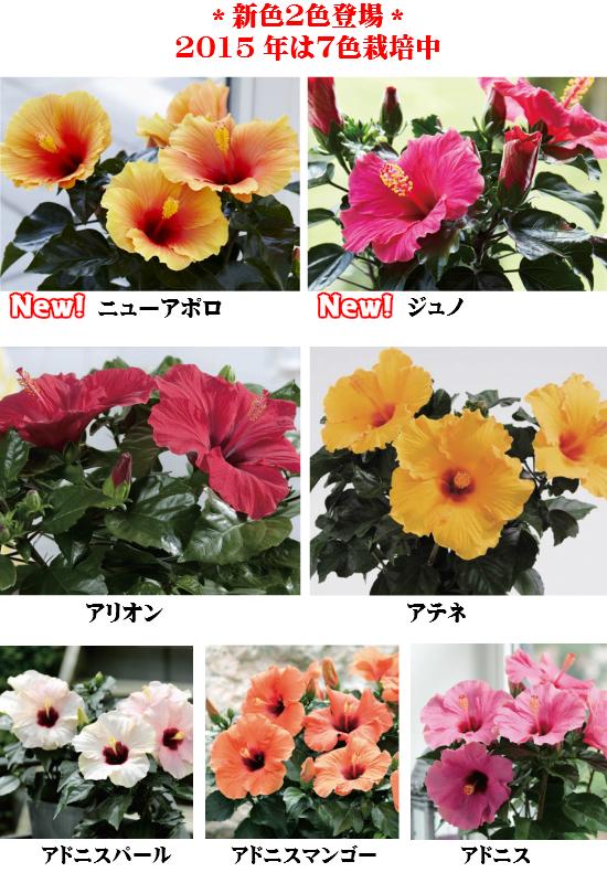长寿命芙蓉 6 号碗青睐选择继续在夏天的夜晚开花种植两种颜色!