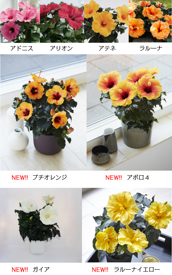 LongLife hibiscus 4, continue to bloom summer night ☆ pick 4 pot set!