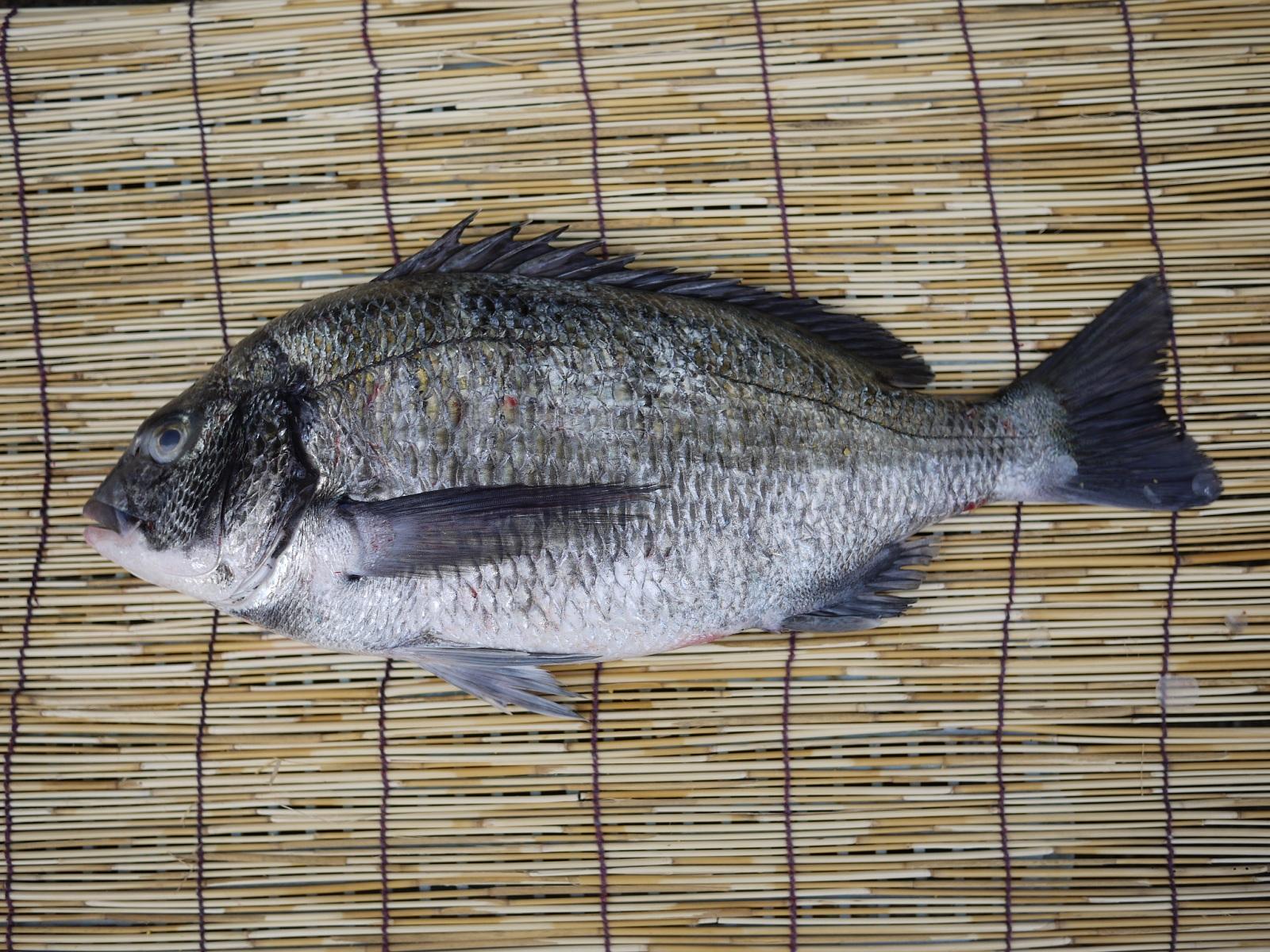 【送料無料】愛知県産 社長の目利き 天然 黒鯛(クロダイ) 2kg前後