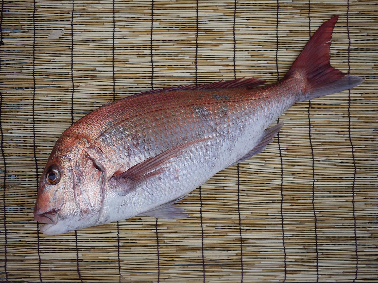 【送料無料】愛知県産 活〆 天然 真鯛 4kg以上