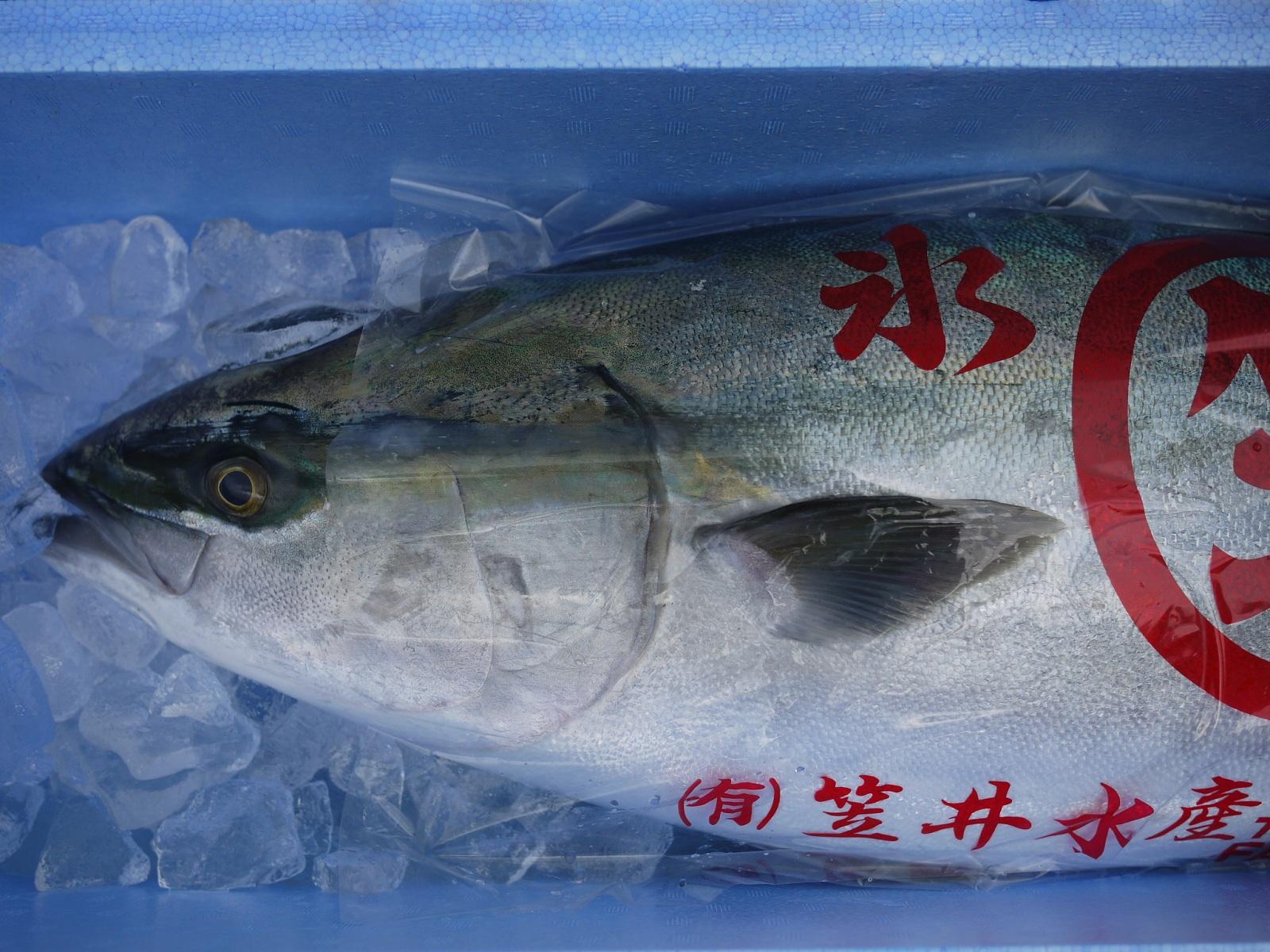 【送料無料】【ひみ寒ぶり宣言】 天然・氷見の寒ブリ 11kg~12kg