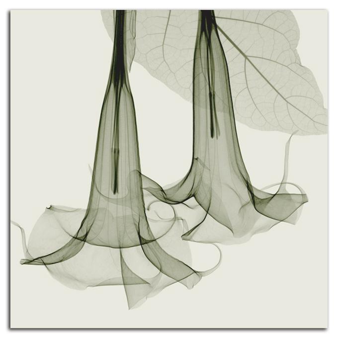 絵画 高級 花 Datura SIZE/mm 590*590おしゃれ 壁掛け 絵 インテリア「究極の繊細美 PLEXIGLASレントゲンアート」
