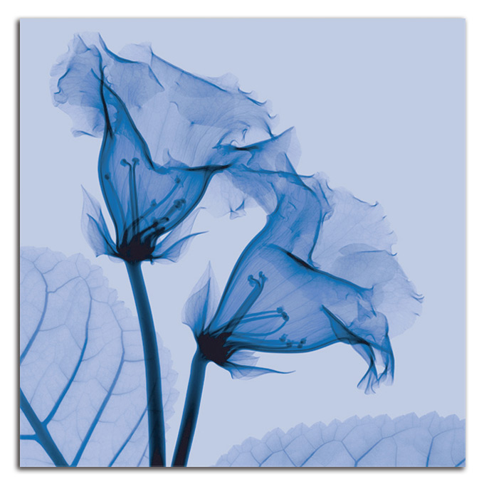 絵画 高級 花 Gloxinia SIZE/mm 590*590おしゃれ 壁掛け 絵 インテリア「究極の繊細美 PLEXIGLASレントゲンアート」