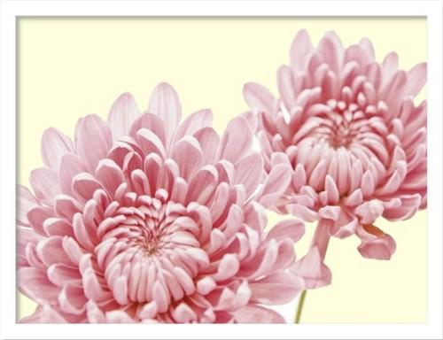 絵画 インテリア 花 植物 北欧 アートポスター FOSSEY GEORGE CHRYSANTHEMUM IN BLOOMおしゃれ 壁掛け 額入り 玄関 飾る ホスピタル パブリック