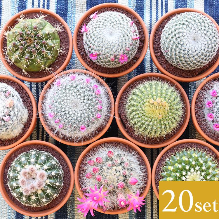 【送料無料】母の日 父の日 ギフト ミニサボテン 3.5号鉢 アソート 20個セット インテリア 観葉植物 さぼてん 引越し祝い プレゼント