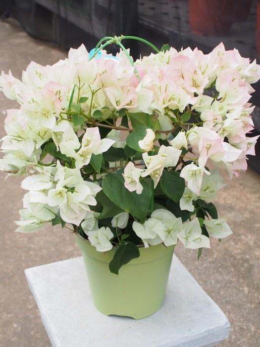 花持ちがよく長期間楽しめる人気の熱帯花木 ブーゲンビリア ブライダルピンク 5号鉢 100%品質保証! 国際ブランド ギフト用不可商品 ブーゲンビレア