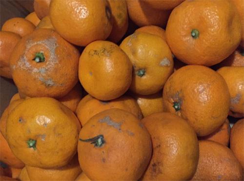 Approximately 1 kg of Qingdao mandarin orange of Yamashita  ※Size mixture ★ appearance is bad.