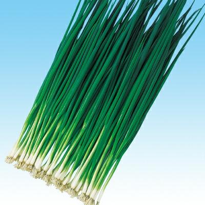 在庫処分 収量 作業性は抜群 極濃緑色のオールシーズンタイプ ナカハラのたね 葱 さんぺい葱 ネギ 2dl 公式ストア