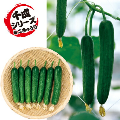 ナカハラのたね キュウリ カリカリ千成(ミニ胡瓜) 500粒