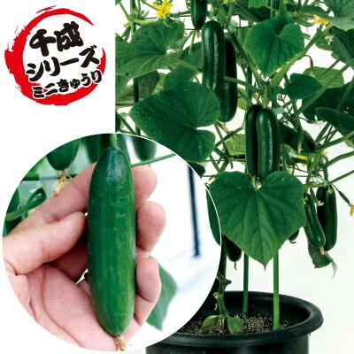 ナカハラのたね キュウリ ミニミニ千成(ミニ胡瓜) 500粒