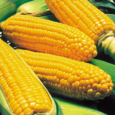 お歳暮 ちょ~ あま~い 黄色いとうもろこし ナカハラのたね シュガーマーケット 商品追加値下げ在庫復活 2000粒 トウモロコシ