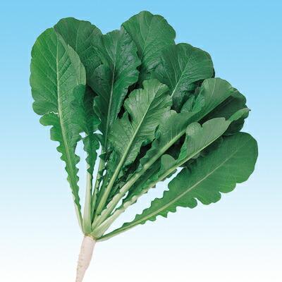 根こぶ病菌の密度を減少させる葉大根 ナカハラのたね CRおとり大根 通信販売 日本製 1L