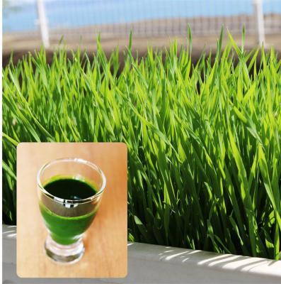海外セレブ モデルの間で人気 ウィートグラス たね グリーンフィールドプロジェクト ジュース用 1dl スムージー ついに入荷 小麦 期間限定特別価格