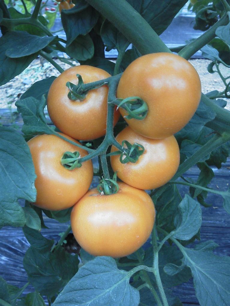 コクがあってとってもおいしい たね 久留米種苗園芸 ディスカウント 極旨トマト オリジナル エンペラーオレンジ 小袋