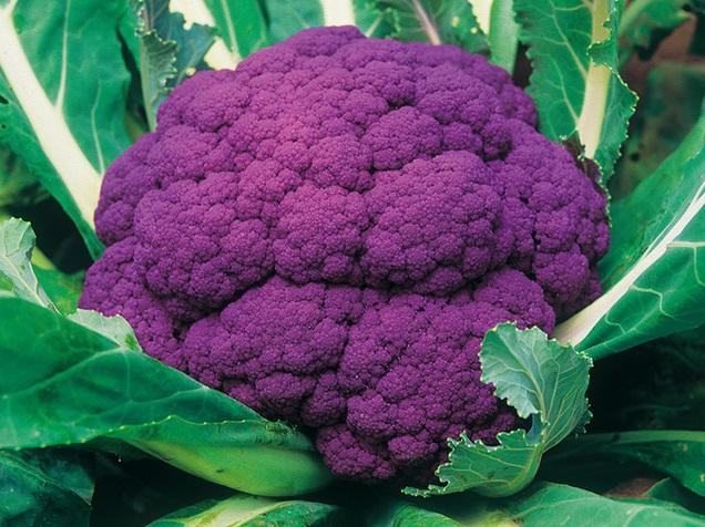 鮮やかな濃紫色で 料理の色添えに最適 たね 武蔵野種苗園 パープルフラワー 格安 信憑 カリフラワー 5ml
