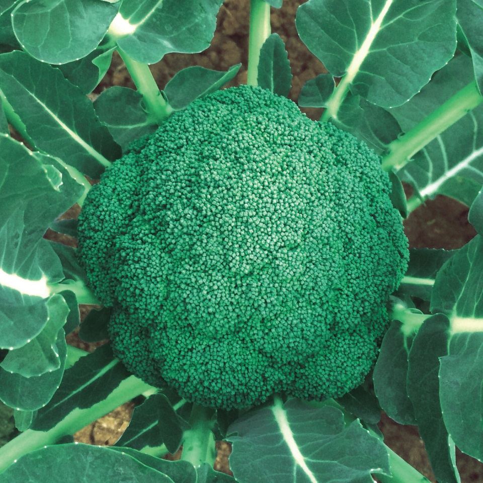 野崎採種場 ブロッコリー はつみらい 2500粒
