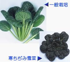 渡辺採種場 広瀬ちぢみ菜 2dl