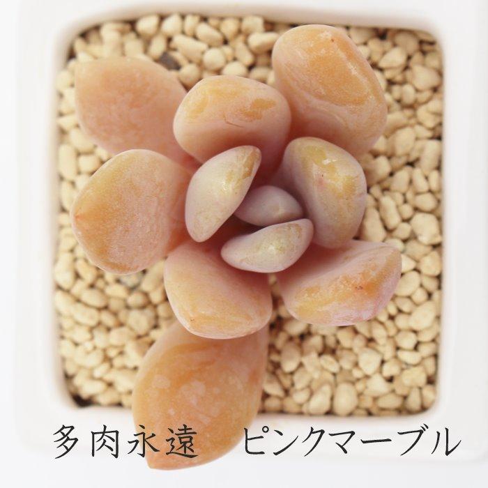 評価 紅葉美しい 人気のグラプトベリアです ピンクマーブル グラプトベリア Mサイズ6cmポット 送料無料 一部地域を除く GRAPTOVERIA PINK MARBLE かわいい 贈り物 多肉植物 おしゃれ 葉を重ねるタイプ 癒し 小~中型種 耐寒性多肉植物