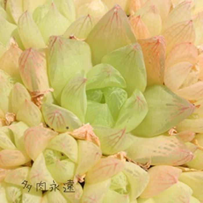 透明窓が美しい 人気のハオルチアです 京の華1頭 ハオルチア Mサイズ6cmポット HAWRTHIA 当店一番人気 CYMBIFORMIS 寄せ植えにも 多肉植物 往復送料無料 仔を出すタイプ きれい 透明窓 小~中型種