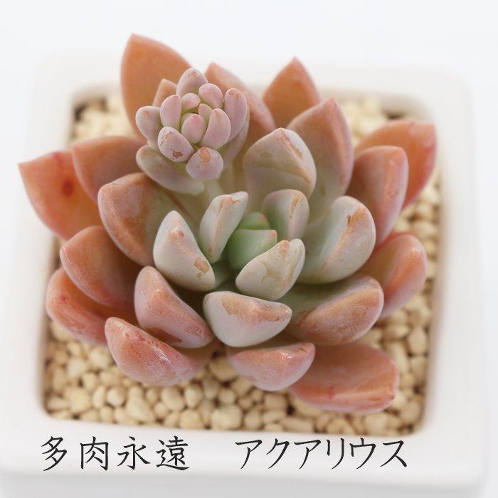 ピンクに色づく 人気のグラプトペタルムです アクアリウス グラプトペタルム Mサイズ6cmポット 耐寒性多肉植物 葉を重ねるタイプ 寄せ植えにも GRAPTOPETALUM きれい アウトレットセール 特集 小~中型種 AQUALIUS プレゼント