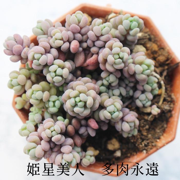 紫色のキュートな粒々 人気のセダムです 姫星美人 セダム Mサイズ6cmポット SEDUM ANGLICUM 男前 小~中型種 割引も実施中 きれい 寄せ植えにも 群生タイプ かわいい 多肉植物 セール 登場から人気沸騰