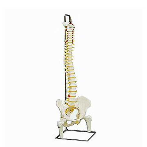脊椎骨盤模型(SR-311) ドイツ・3B社製【smtb-s】