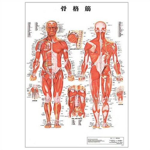 「検査」医道の日本社 人体解剖学チャート骨格筋 ポスター 3枚セット(骨格筋・骨格・神経図) パネルなし 『プラス選べるおまけ付』【smtb-s】