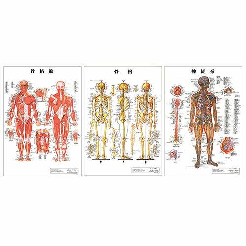 「検査」医道の日本社 人体解剖学チャート ポスター 選べる3枚セット パネルなし 『プラス選べるおまけ付』