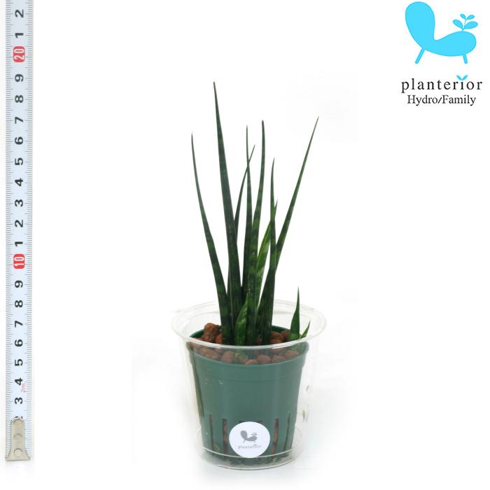 観葉植物 セットアップ ハイドロカルチャー 苗 サンスベリア ミカド Mサイズ 6パイ 贈答品 2寸